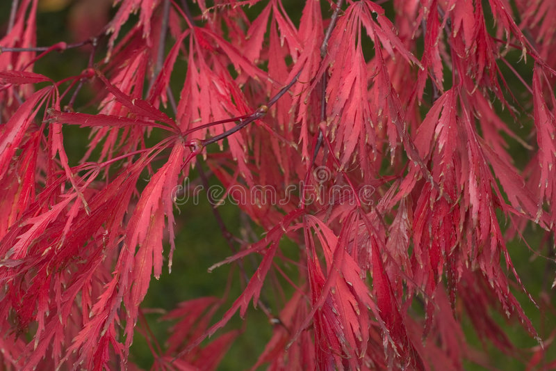 De Japanse Bladeren van de Esdoorn stock afbeelding