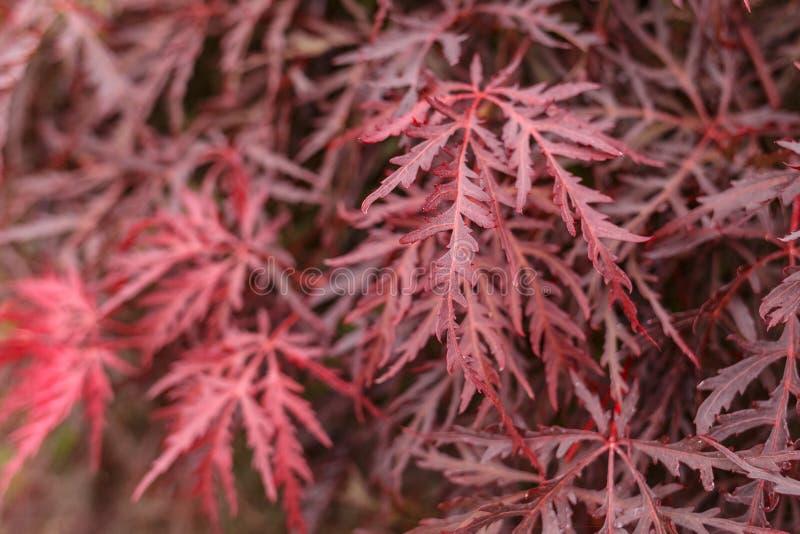 De Japanse boom van de palmatumesdoorn van Acer van de brandstruik royalty-vrije stock afbeelding