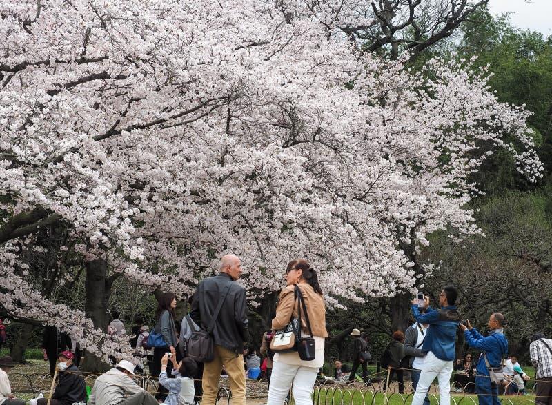 De Japanse het genieten van Kers komt festival in park tot bloei royalty-vrije stock fotografie