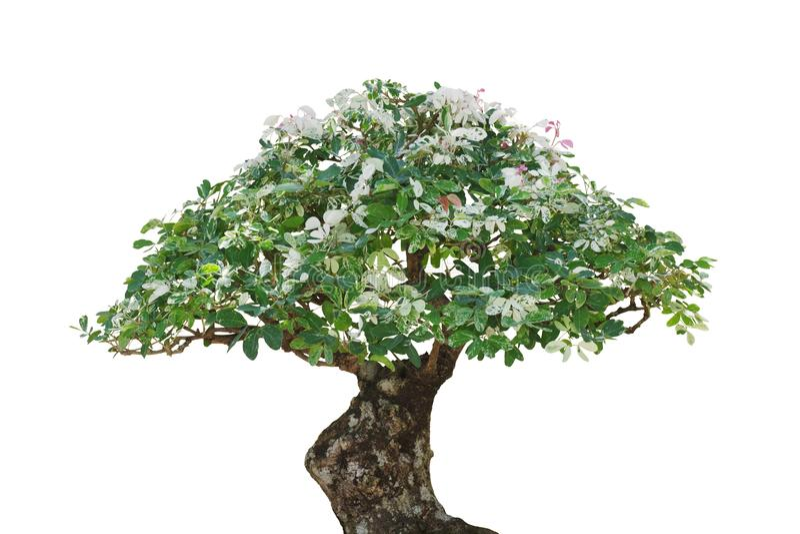 De Japanse installatie van de Bonsaiboom met geschakeerde bladeren die op witte achtergrond, het knippen inbegrepen weg worden ge royalty-vrije stock foto