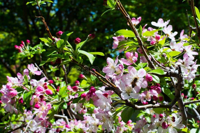 De Japanse Lente Cherry Blossom en Bij royalty-vrije stock foto