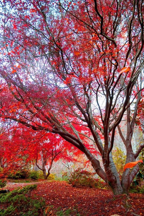 De Japanse Rode boom van de Esdoorn royalty-vrije stock afbeeldingen