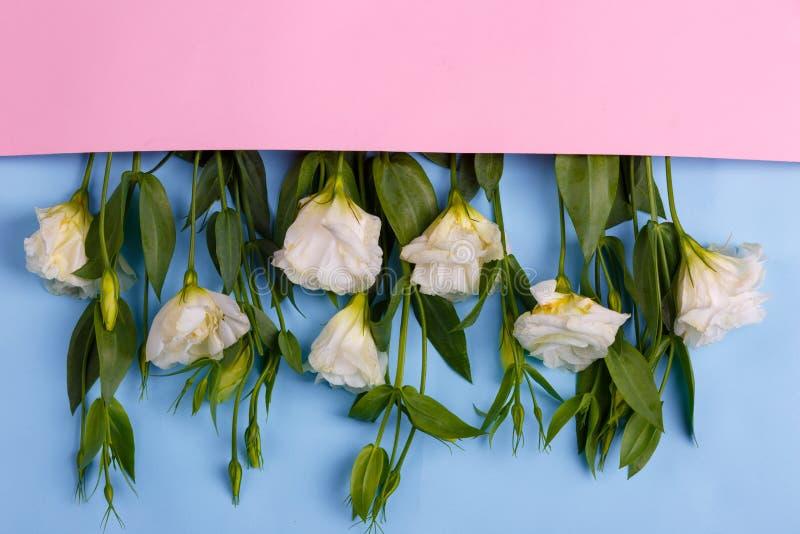 De Japanse rozen liggen op een rij in een roze envelop vanaf bovenkant aan bovenkant met hun voeten op een blauwe houten achtergr stock afbeelding