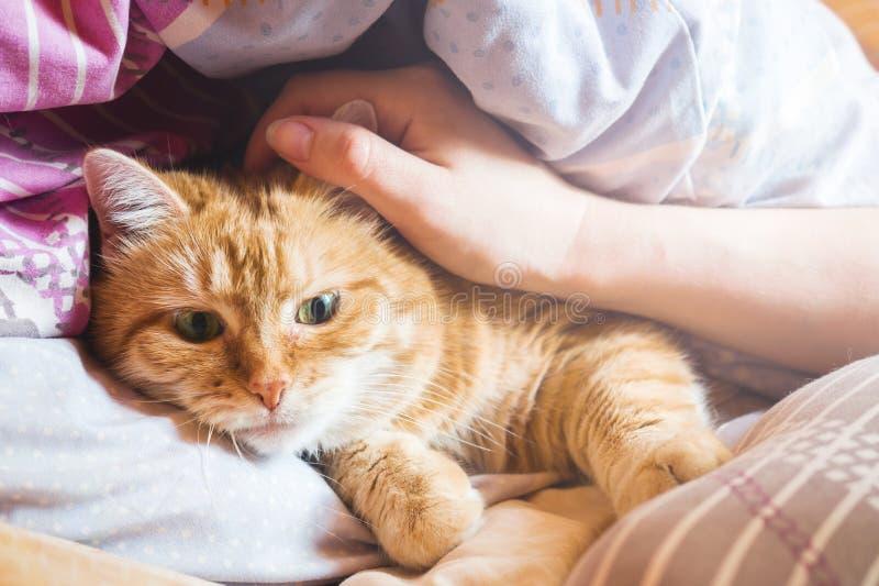 De jaren van de gemberkat op het bed in een deken het comfortabele huis en ontspant concept stock afbeelding