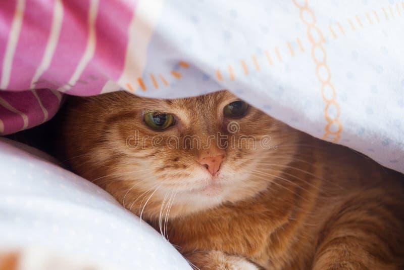 De jaren van de gemberkat op het bed in een deken het comfortabele huis en ontspant concept royalty-vrije stock foto's