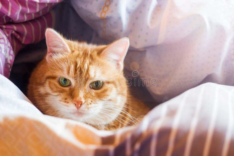 De jaren van de gemberkat op het bed in een deken het comfortabele huis en ontspant concept royalty-vrije stock afbeeldingen