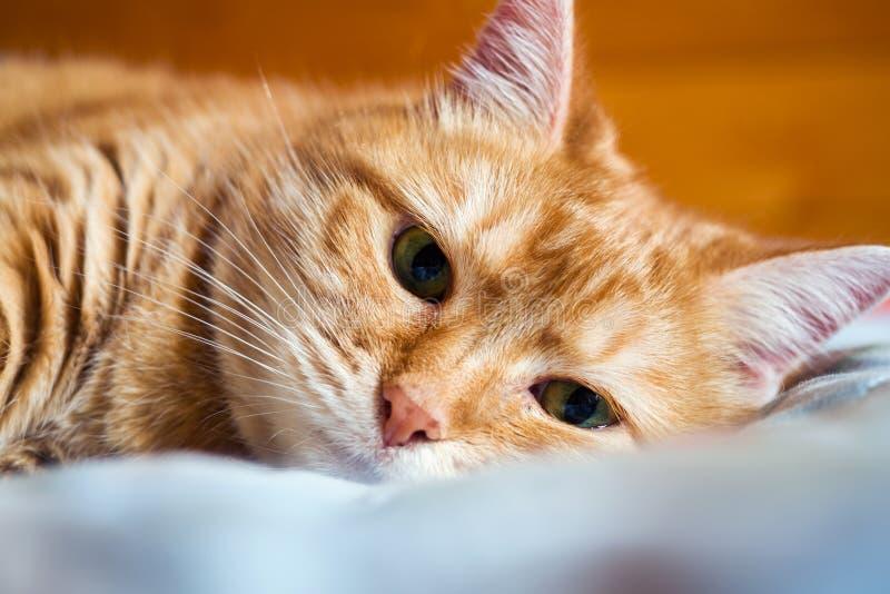 De jaren van de gemberkat op het bed in een deken het comfortabele huis en ontspant concept royalty-vrije stock afbeelding