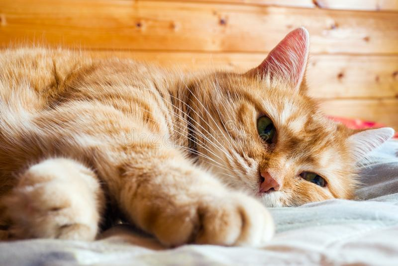 De jaren van de gemberkat op het bed in een deken het comfortabele huis en ontspant concept stock foto's