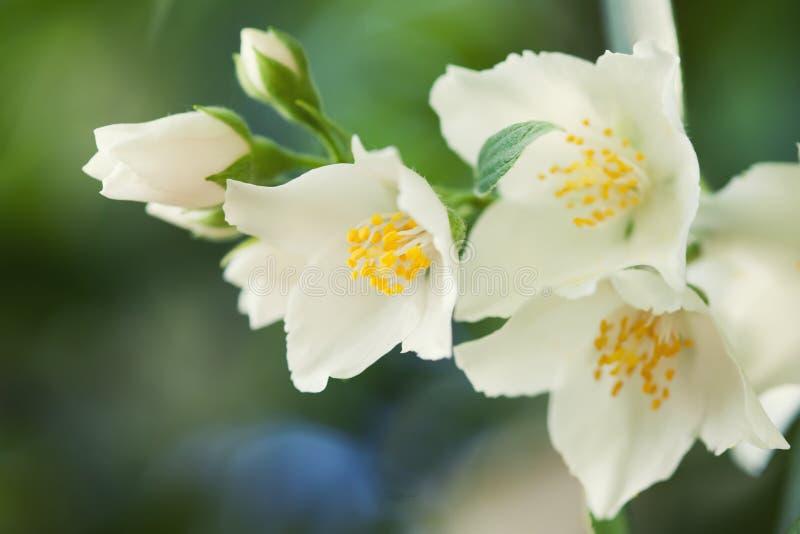 De jasmijn bloeit macromening Mooie de zomerachtergrond Zachte nadruk, Ondiepe diepte van gebied stock afbeelding