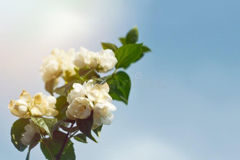 De jasmijn bloeit in de zachte stralen van de de lentezon tegen de blauwe hemel Symbool van het bloeien, het begin van de lente,  royalty-vrije stock fotografie