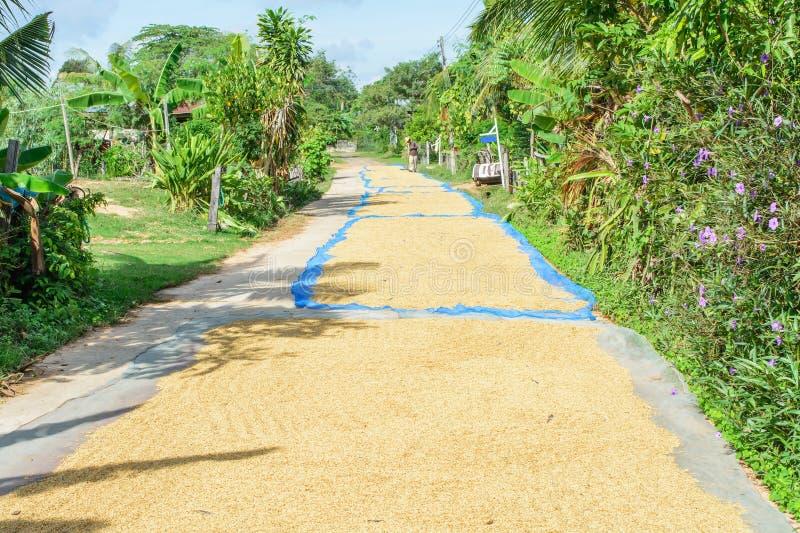 De jasmijnrijst van het padiezaad in openlucht De Thaise jasmijn van de landbouwers droge padie stock afbeelding
