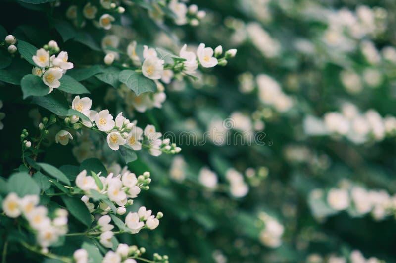 De jasmijnstruik, jasmijnbloemen, jasmijnbloesem bloeit backgound stock afbeeldingen