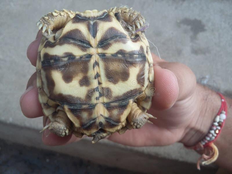 De jeugd Indische huid van de sterschildpad binnen shell holding in hoofd stock foto's