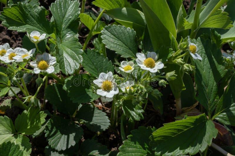 De jeunes arbustes de fraises fleurissent dans de petites fleurs blanches dans un jardin extérieur images stock