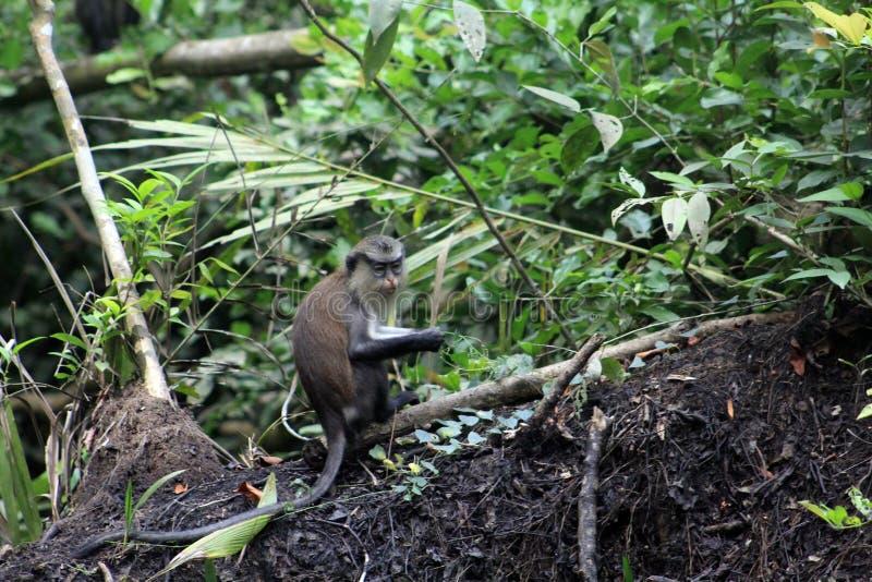 De jonge aap van Mona stock afbeeldingen