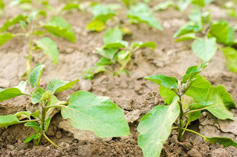 De jonge aubergines groeien op het gebied plantaardige rijen Landbouw, groenten, organische landbouwproducten, agro-industrie Lan royalty-vrije stock afbeeldingen