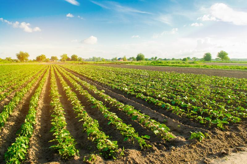 De jonge aubergines groeien op het gebied plantaardige rijen Landbouw, de landbouw landbouwgronden Landschap met Landbouwgrond royalty-vrije stock foto's