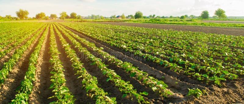 De jonge aubergines groeien op het gebied plantaardige rijen Landbouw, de landbouw landbouwgronden Landschap met Landbouwgrond Se stock foto's