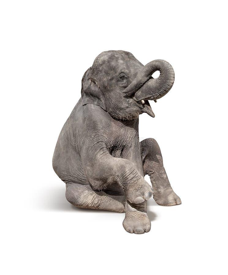 de jonge babyolifant gaat zitten om te tonen geïsoleerd op witte backgroun royalty-vrije stock foto's