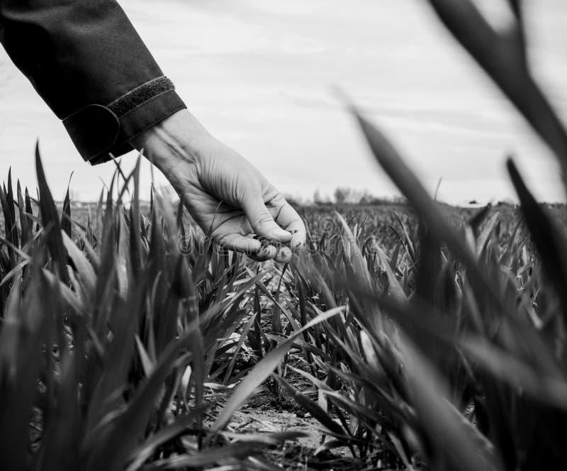 De jonge bioloog die van de landbouwvrouw de oogst inspecteren royalty-vrije stock fotografie