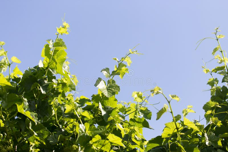 De jonge bladeren van de druif op een achtergrond van blauwe hemel stock foto