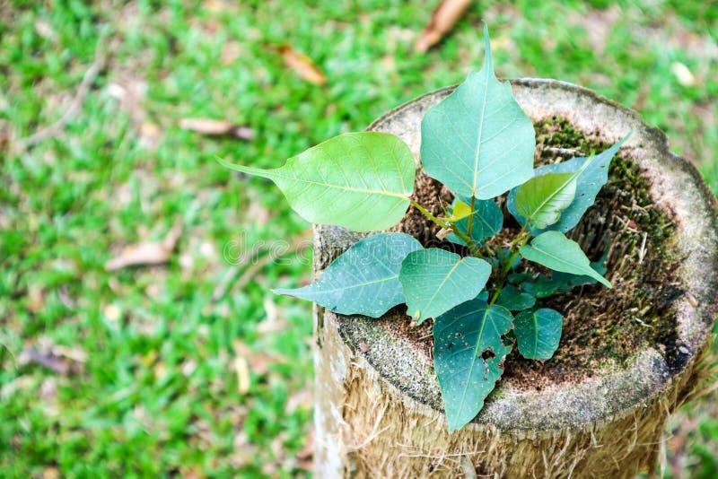de jonge boom was geboren op matrijzen oude boom en groene grastuin royalty-vrije stock foto's