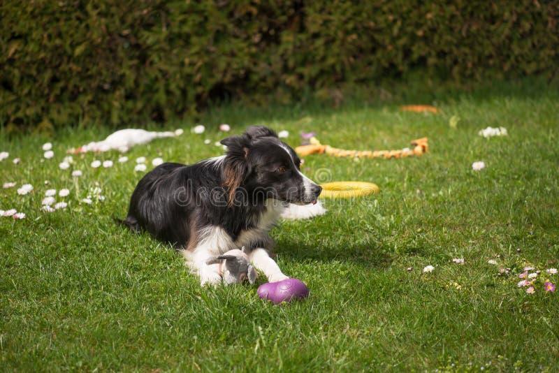De jonge border collie-hond rust gras in tuin stock foto