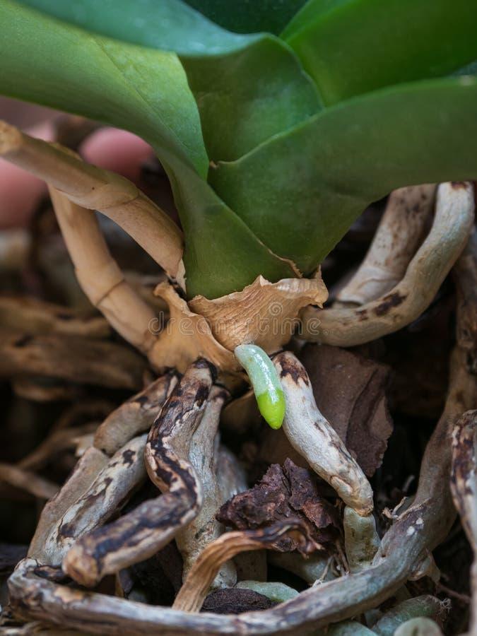 De jonge close-up van de Orchideewortel Het fokkenorchideeën stock afbeelding