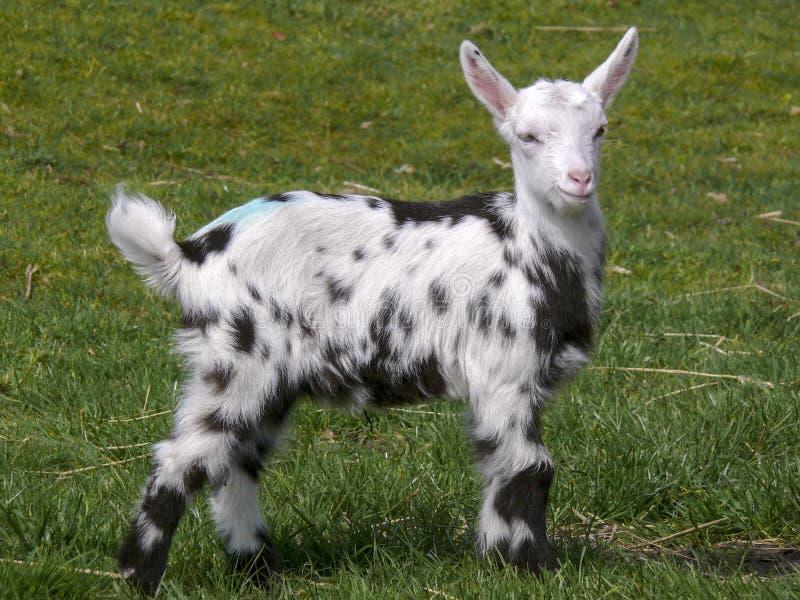 De jonge Dalmatische bonte geit die zich op het gras bevindt, leidt recht en lang, oren brede, zwarte voeten stock foto's