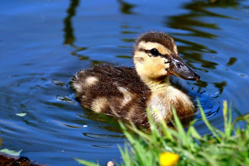 De jonge eend die van het wilde eendeendje in water zwemmen stock fotografie