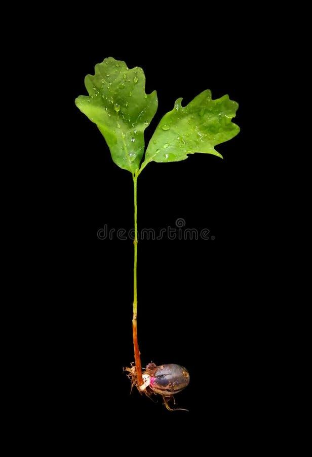 De jonge eiken spruit, groene bladeren, structuur van een boom, ontsproot van een eikel Het concept het nieuw, sterk leven royalty-vrije stock afbeelding