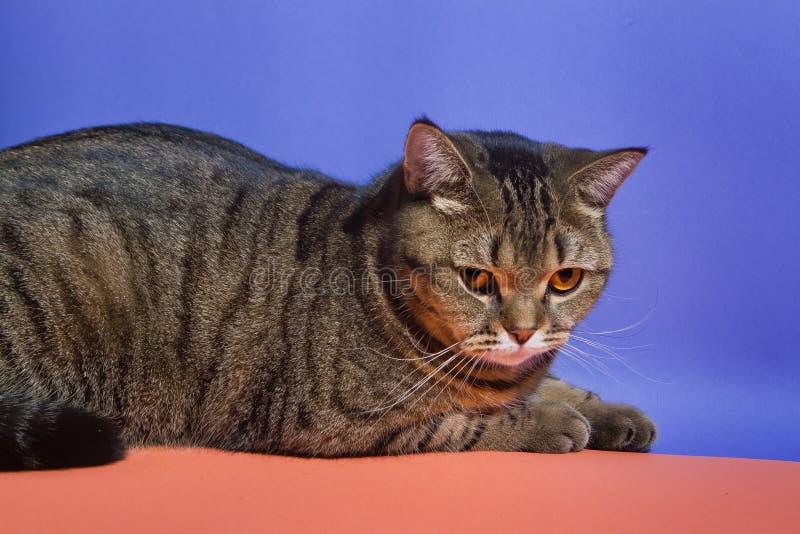 De jonge en leuke Schotse rechte shorthairkat met oranje ogen rust op blauwe en oranje achtergrond stock fotografie
