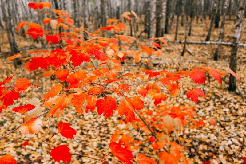 De jonge Esdoornboom groeit in het Berkbosje Esdoorn met Rode Bladeren stock foto's