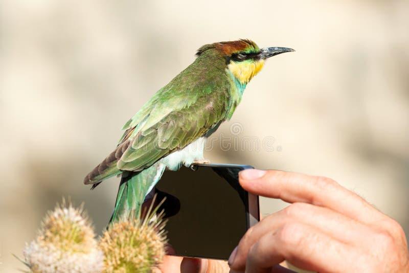 De jonge Europese bij-eter zitting van Merops apiaster op de telefoon in de handen van een mens stock foto
