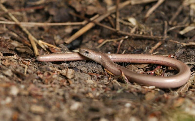 De jonge fragilis jacht van Hazelwormanguis in het kreupelhout stock foto