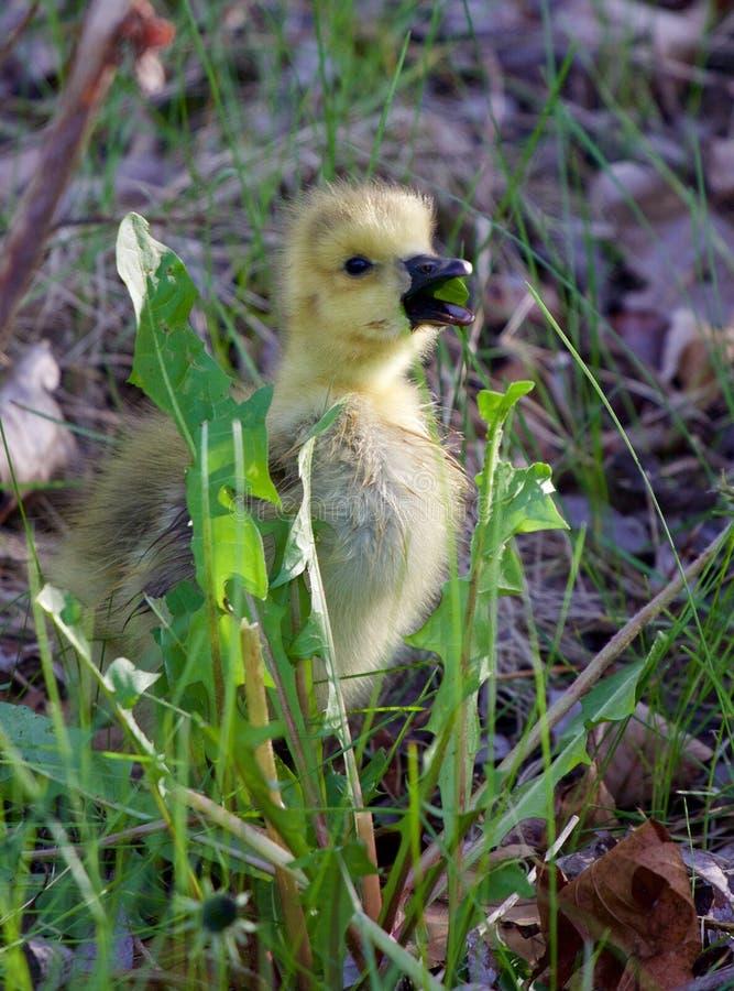 De jonge gans eet het gras royalty-vrije stock afbeelding