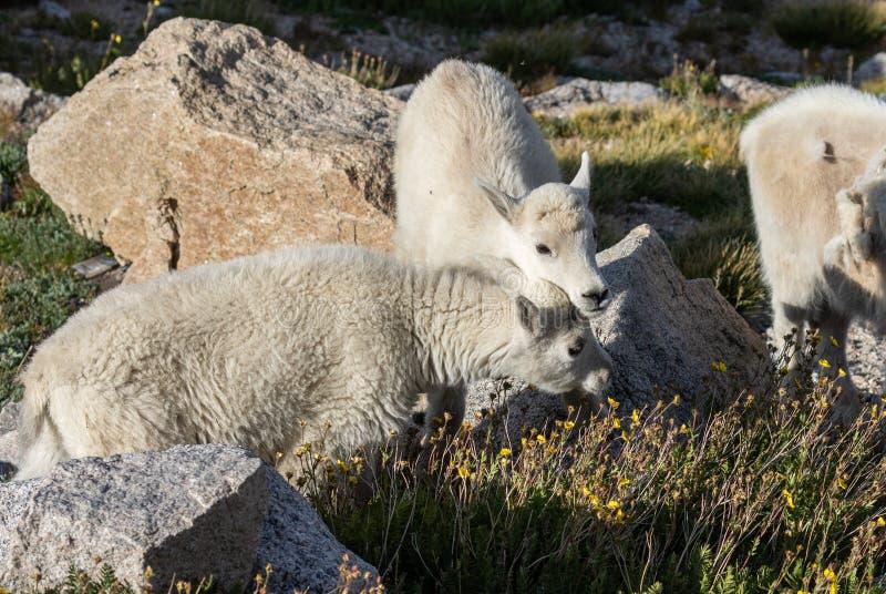 De Jonge geitjes van de berggeit royalty-vrije stock afbeelding