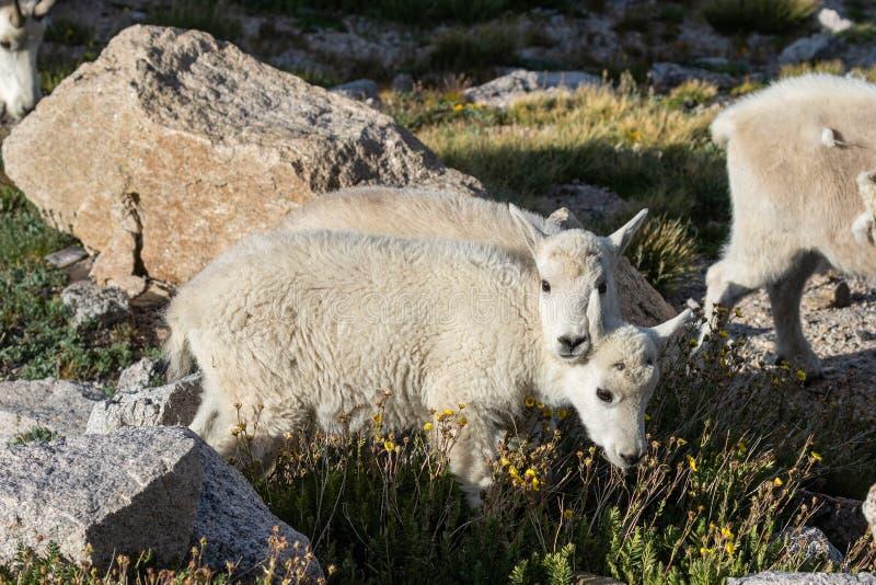 De Jonge geitjes van de berggeit royalty-vrije stock foto's