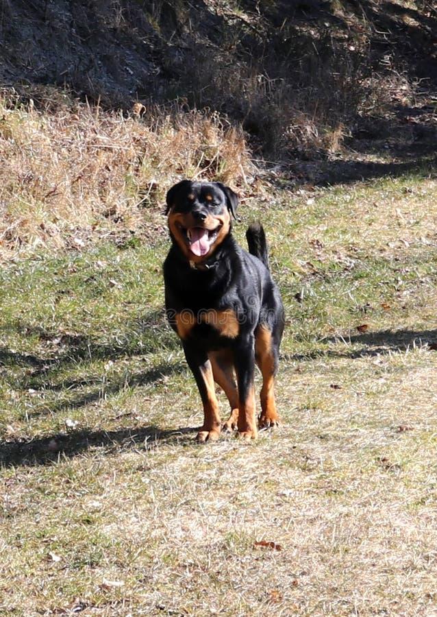 De jonge gelukkige Hond van Rottweiler royalty-vrije stock afbeelding