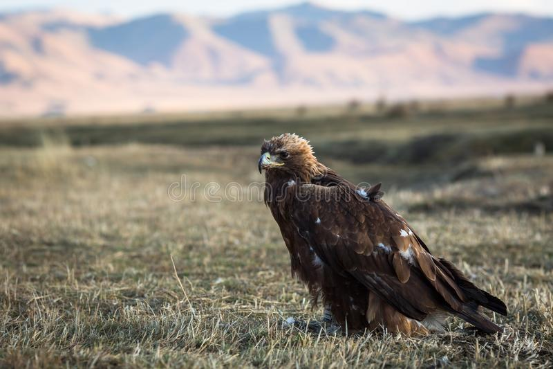 De jonge gouden adelaar zit op land in de Mongoolse steppe nave royalty-vrije stock afbeelding
