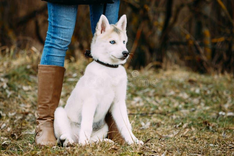De jonge Grappige Witte Husky Puppy Dog With Blue-Ogen spelen Openlucht royalty-vrije stock afbeeldingen