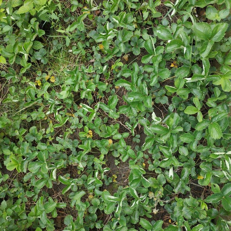 De jonge groene Aardbeien, tijd is dicht vector illustratie