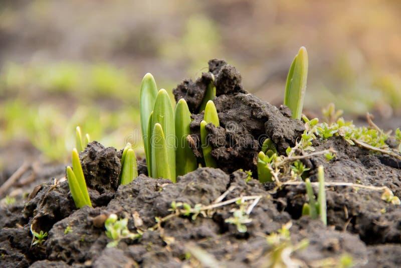 De jonge groene onderbrekingen van bloemenspruiten door bevroren grond in de lente stock fotografie