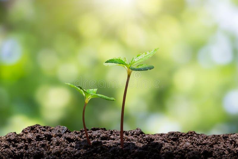De jonge groene spruiten met water laten vallen het groeien van grond op vage groene bokeh met zachte zonlichtachtergrond stock foto's