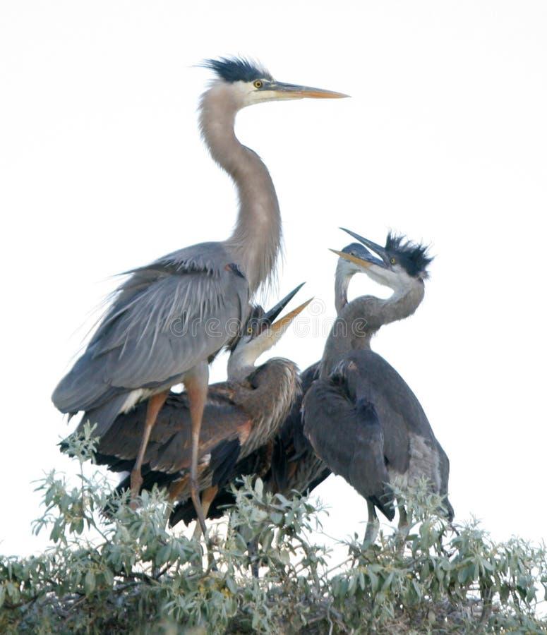 De jonge Grote Blauwe Vogels van de Reiger royalty-vrije stock afbeeldingen