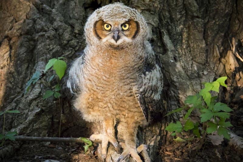 De jonge Grote Gehoornde Boom van Owl Against Poison Ivy en Cottonwood- royalty-vrije stock foto's