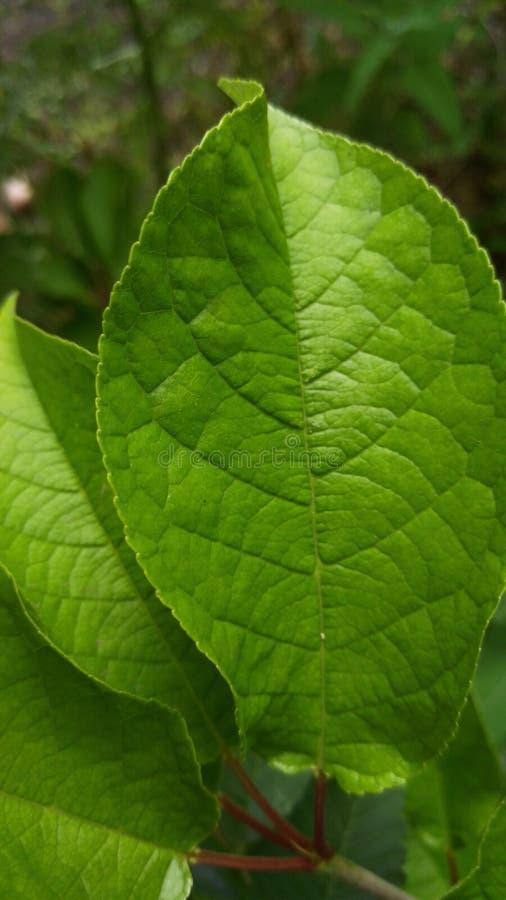 De jonge heldergroene kers van de bladvogel, achtergrond, behang royalty-vrije stock foto's