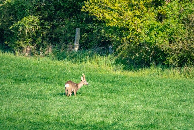 de jonge hertenlooppas over een groene weide en eet gras royalty-vrije stock afbeelding