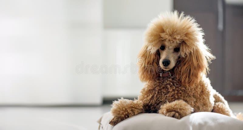 De jonge hond rust thuis stock fotografie