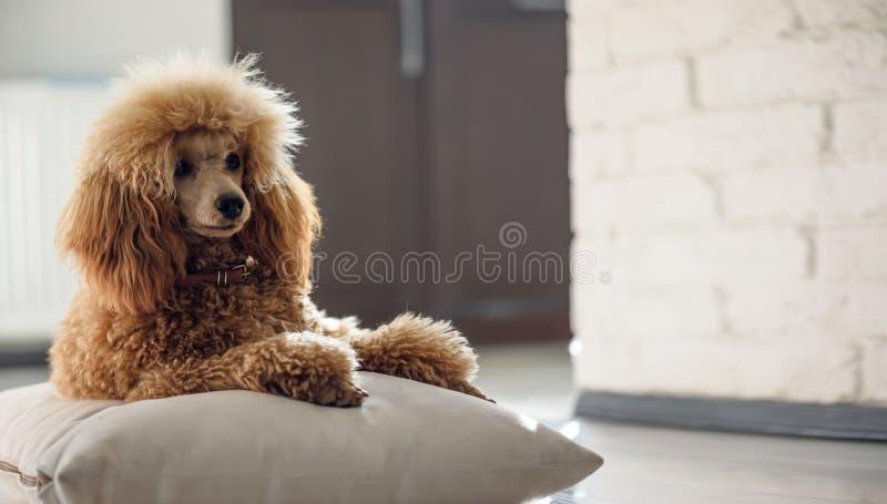 De jonge hond rust thuis stock foto's